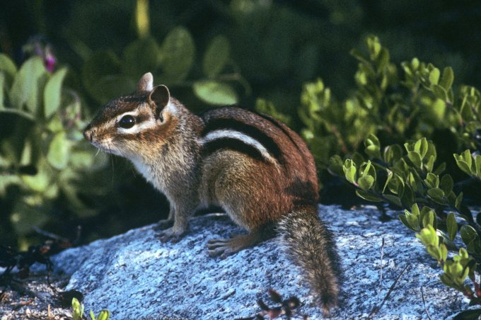 Eastern Chipmunk (Tamias striatus), Lake Superior Provincial Park, ON