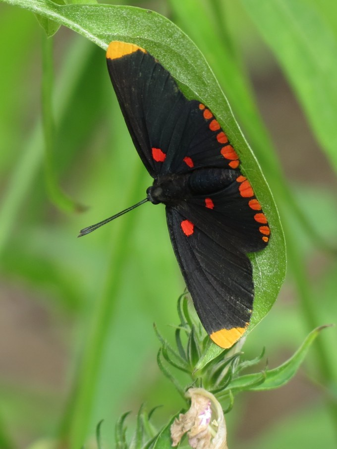 Red-banded Pixie, Sabal Palm Sanctuary, Brownsville, TX