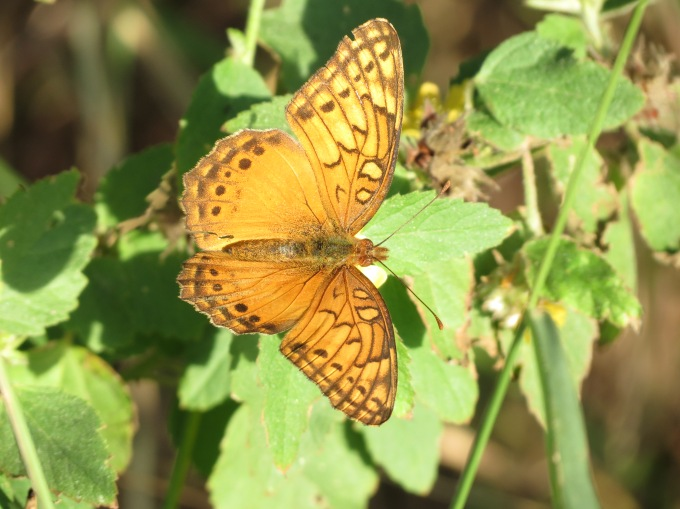 Mexican Fritillary, National Butterfly Center, Mission, TX