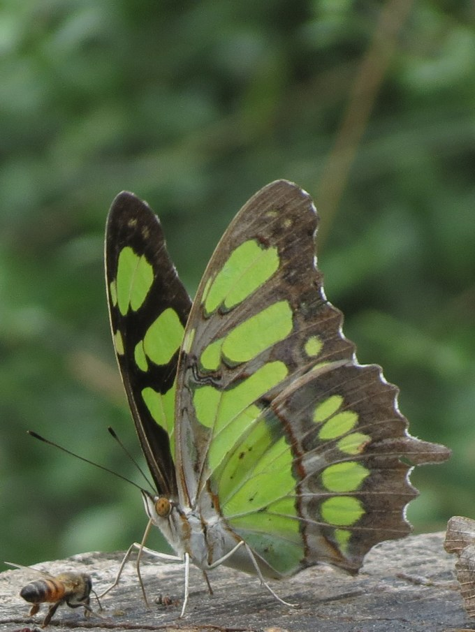 Malachite, National Butterfly Center, Mission, TX