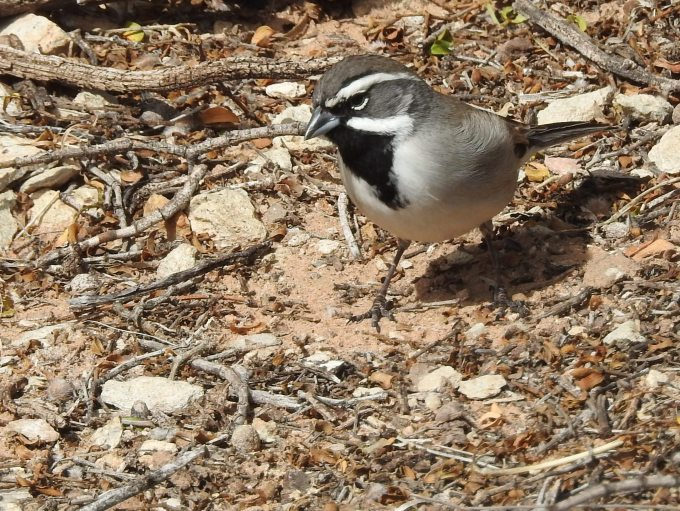 Black-throated Sparrow, Hueco Tanks SHP TX