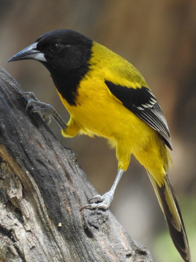 Audubon's Oriole, Salineno TX