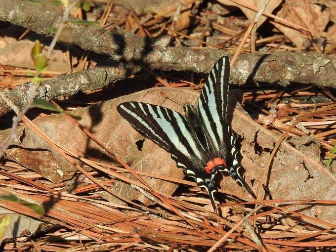 Zebra Swallowtail, Roy E. Larsen Sandyland Sanctuary, Silsbee TX