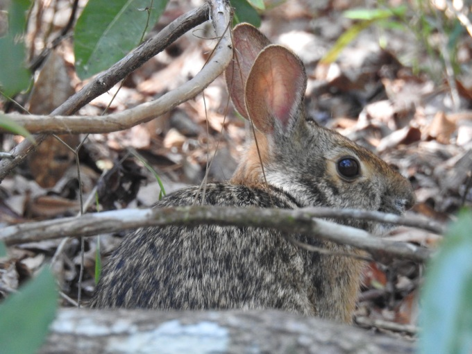 Swamp Rabbit, Water Oak Tr, Village Creek SP, TX