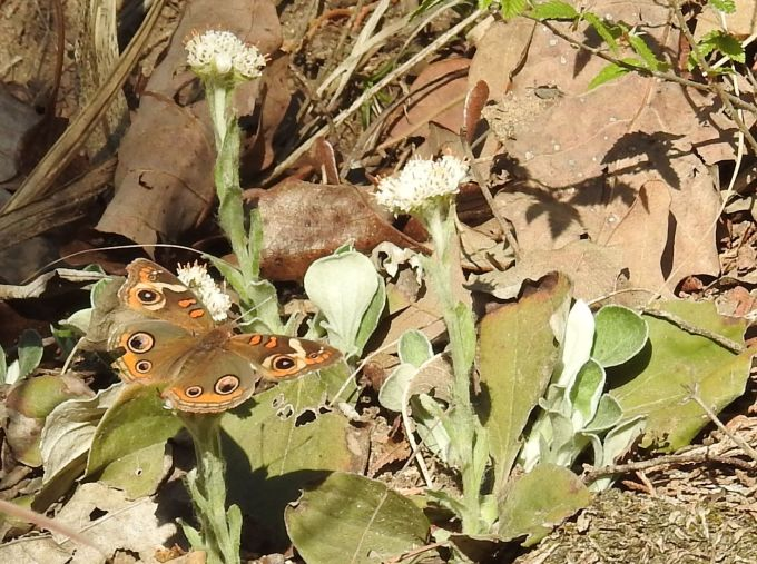 Common Buckeye, Blue River NE of Tishomingo OK