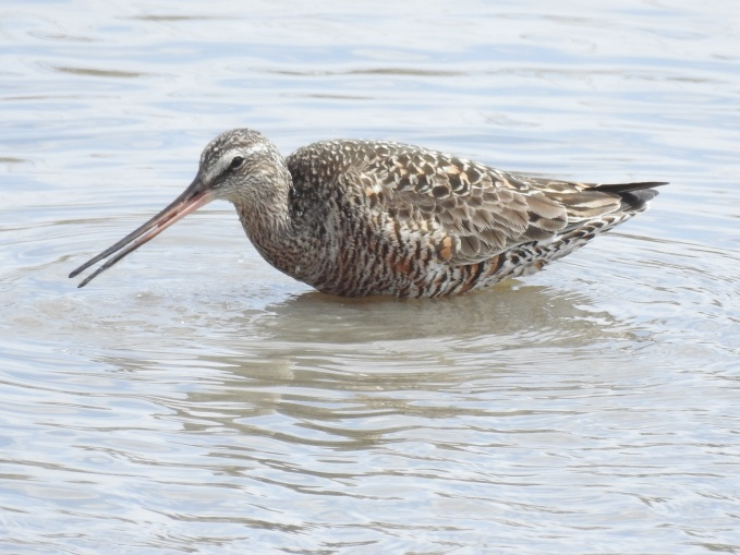 Hudsonian Godwit, Cheyenne Bottoms Wildlife Area, KS