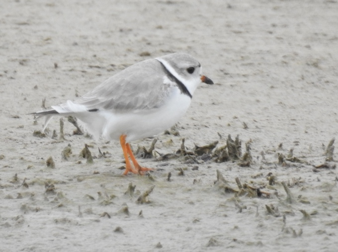 Piping Plover, Quivira NWR, KS