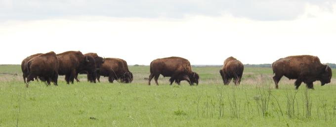 Bison, TNC Tallgrass Prairie Preserve, OK