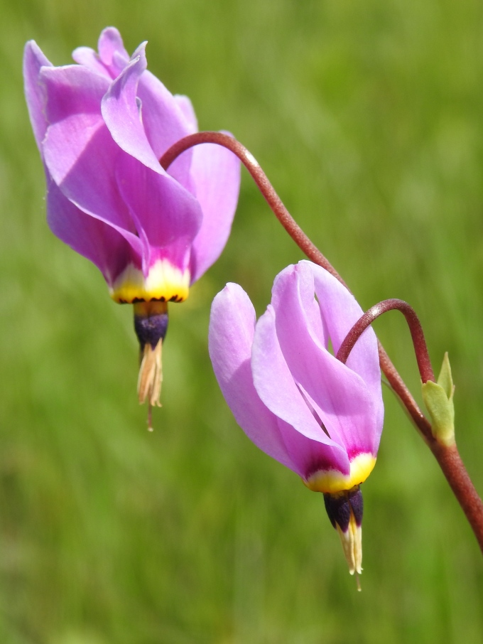 Dodecatheon meadia, TNC Shelton L. Cook Meadow Preserve, MO