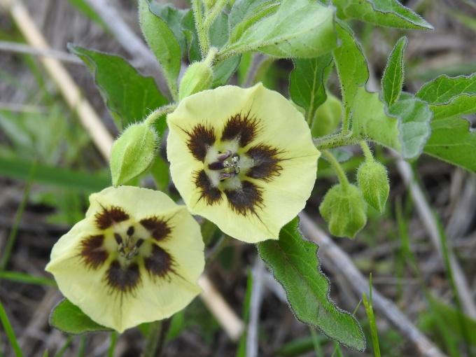 Physalis heterophylla, Tallgrass Prairie National Preserve, KS