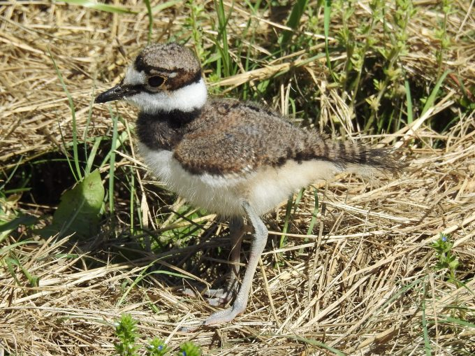 Killdeer chick, Tallgrass Prairie National Preserve, KS