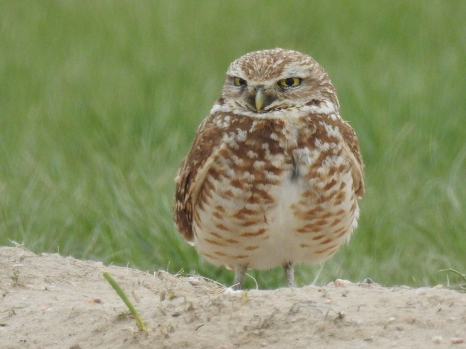 Burrowing Owl, Pawnee NG, CO