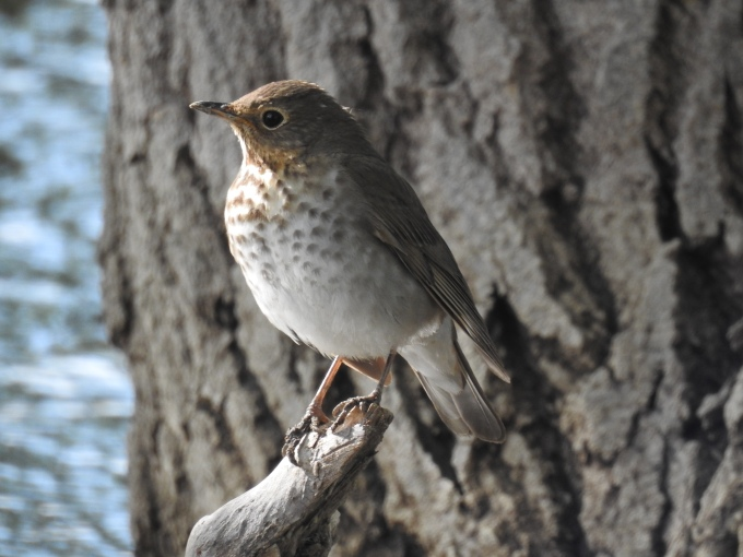 Swainson's Thrush, Crow Valley RA, Pawnee NG, CO