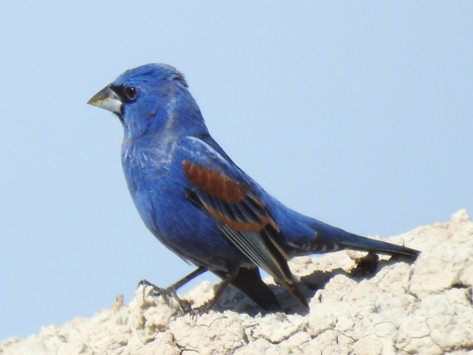 Blue Grosbeak, Badlands NP, SD