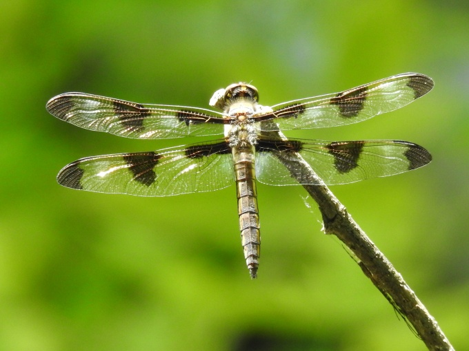 Twelve-spotted Skimmer, Ft. Niobrara NWR, NE