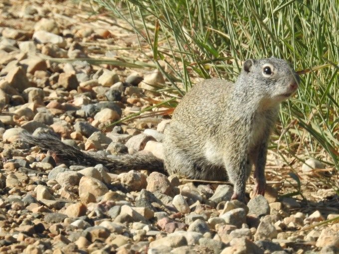 Franklin's Ground Squirrel, Lostwood NWR, ND