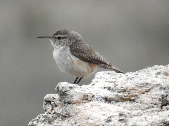 Rock Wren, Cimarron National Grassland, KS
