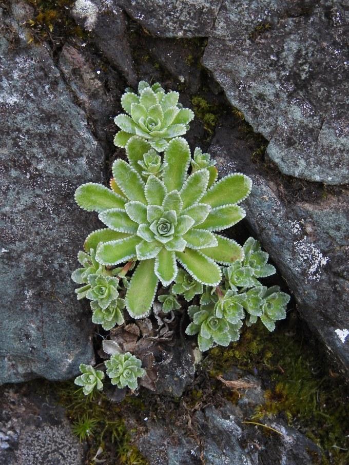 Encrusted Saxifrage, Saxifraga paniculata, Pukaskwa NP, ONT