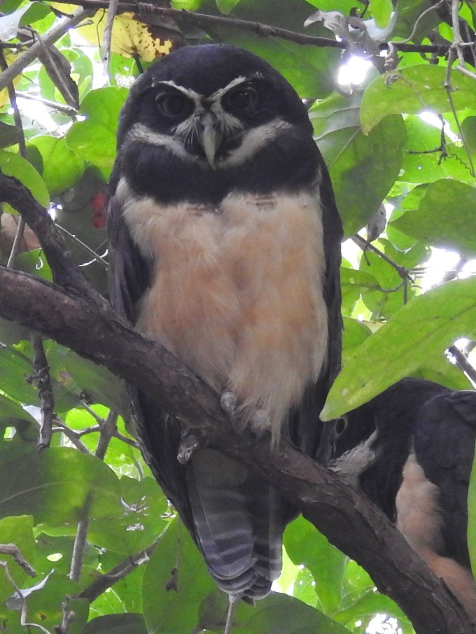 Spectacled Owl, El Valle, Panama