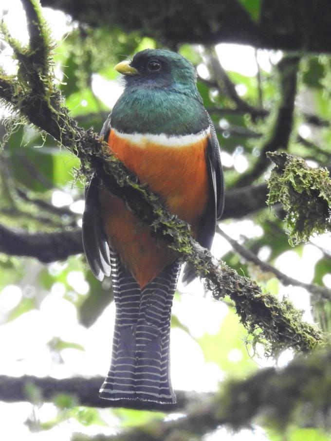 Orange-bellied Trogon, La Mesa, Panama