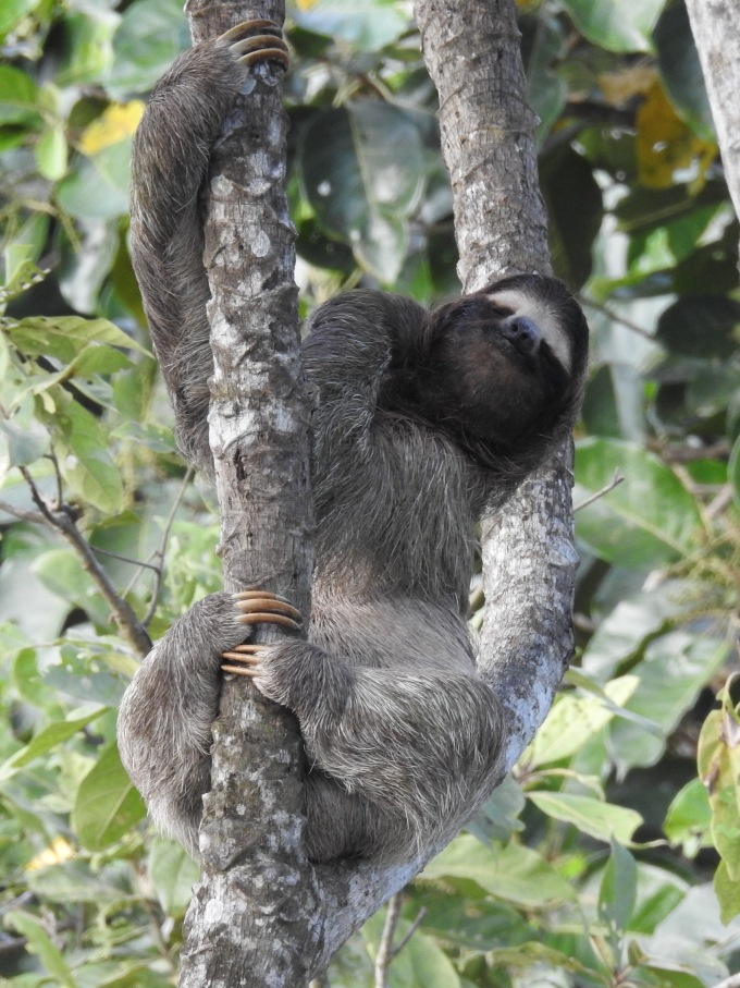 Brown-throated Three-toed Sloth, Canopy Tower, Panama
