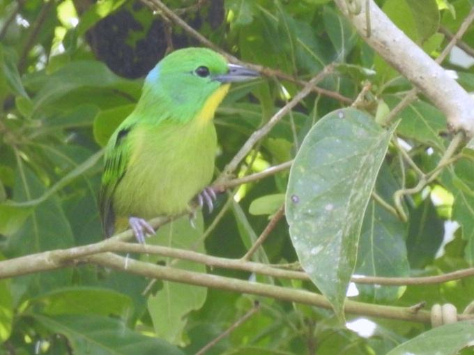 Green Shrike-Vireo, Rainforest Discovery Center, Panama
