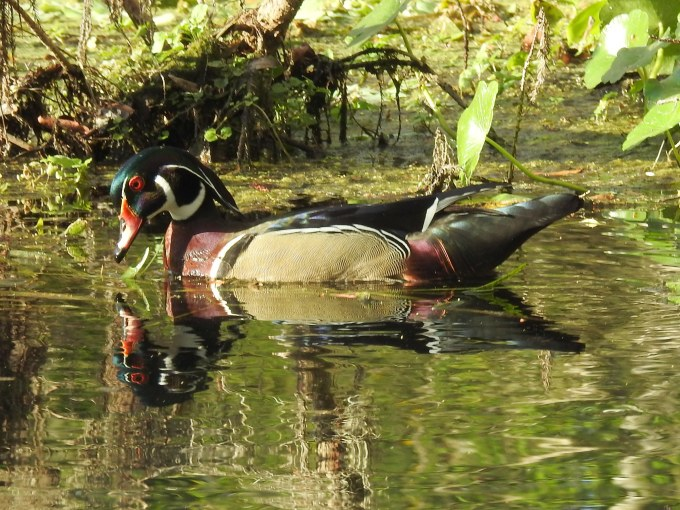 Wood Duck, Silver River, FL