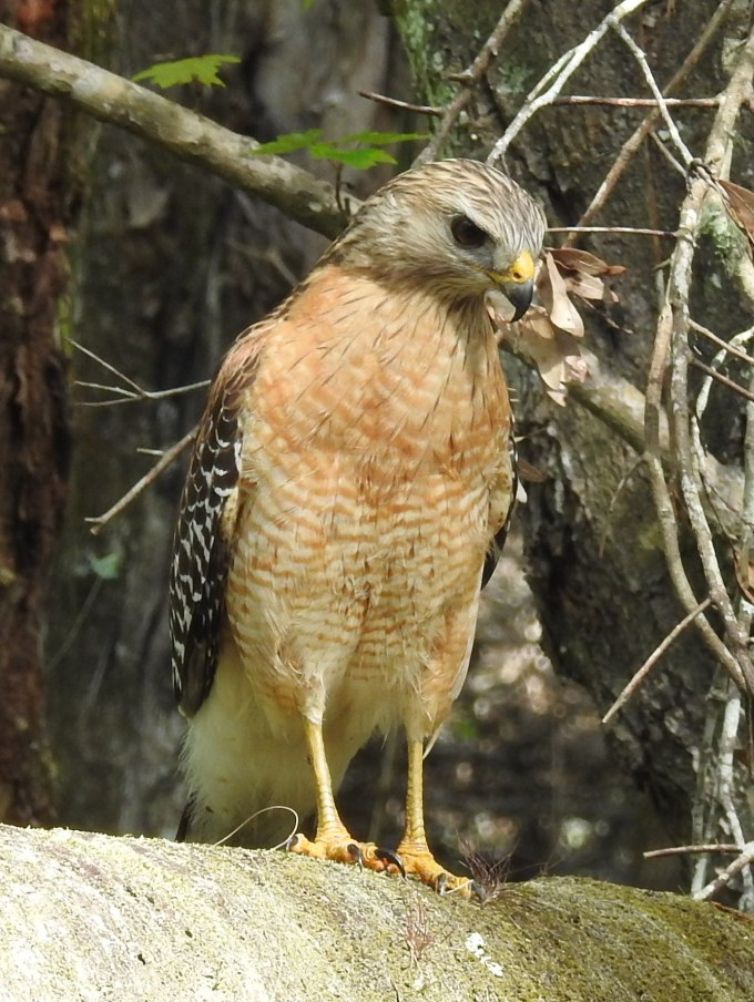 Red-shouldered Hawk, Highlands Hammock SP, FL