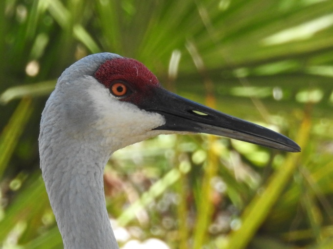 Sandhill Crane, Ridge Audubon Center,  Babson Park FL