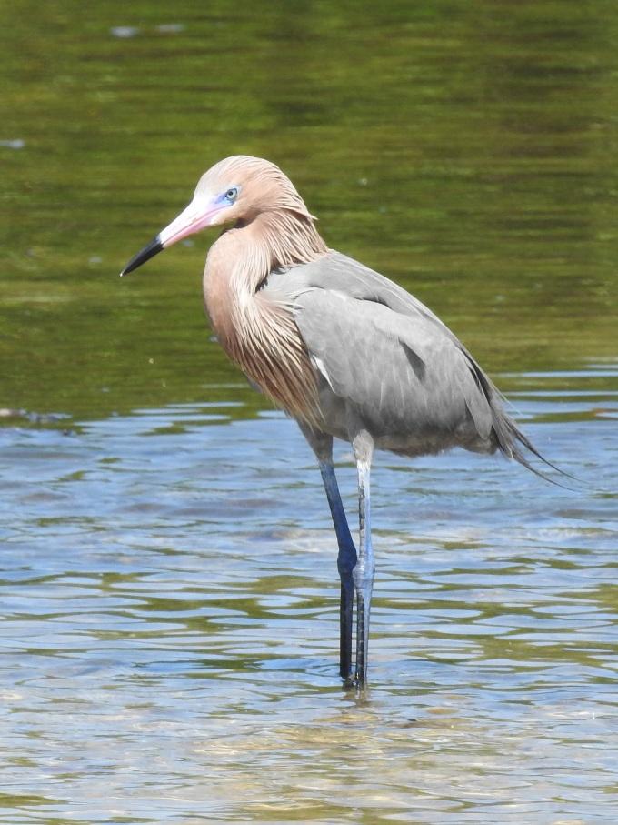 Reddish Egret, Ding Darling NWR, FL