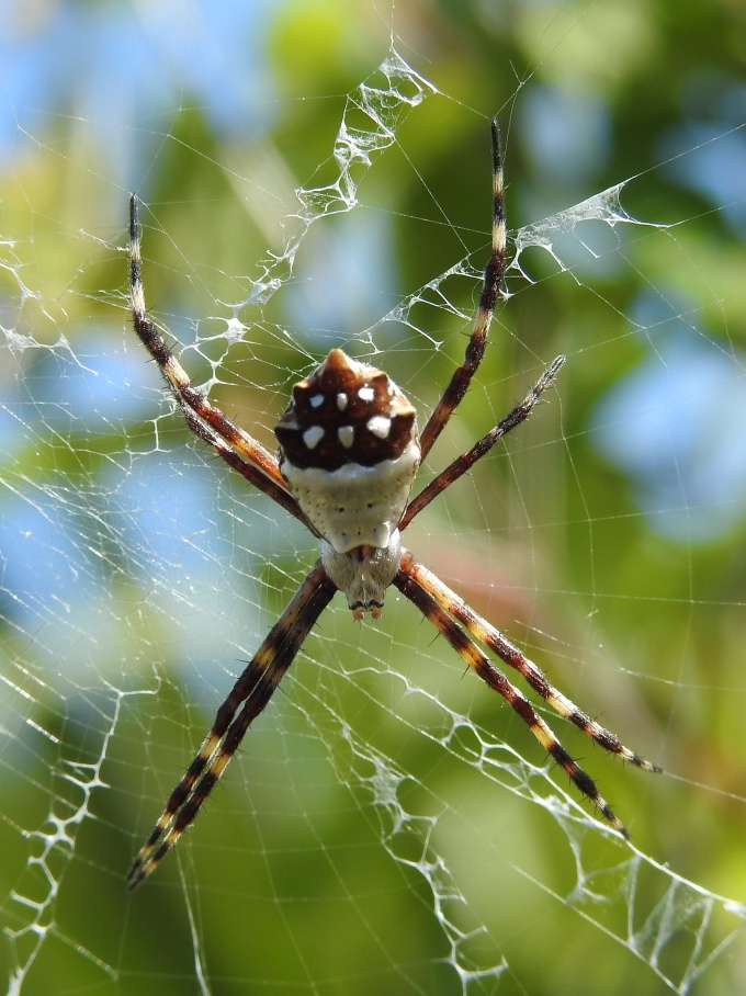 Golden Orb Weaver, Deering Estate, Palmetto Bay FL