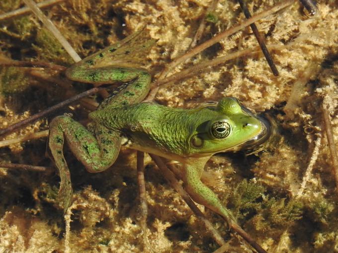 Pig Frog, Everglades NP FL