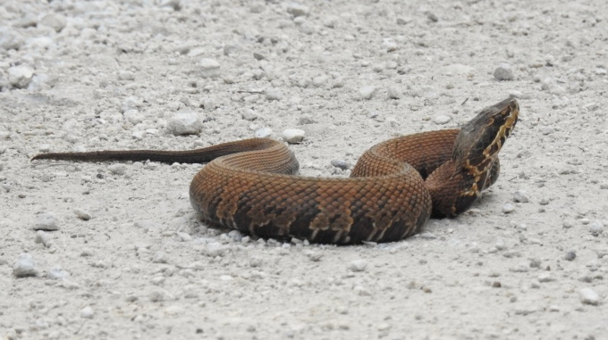 Cottonmouth, Fakahatchee Strand State Preserve FL