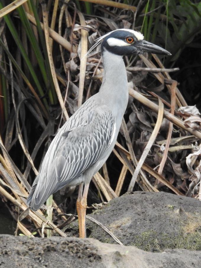 Yellow-crowned Night-Heron, Chassahowitzka River, Citrus Co FL