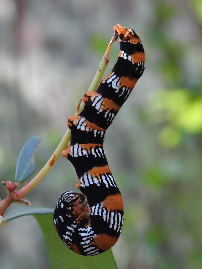 Okefenokee Zale Moth Caterpillar, Okefenokee Swamp, Georgia