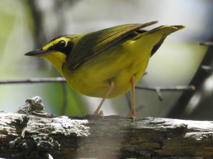Hooded Warbler, DeSoto SP, AL