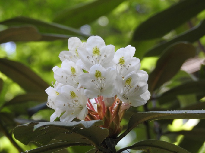 Rhododendron maximum, Great Smoky Mountains NP, TN