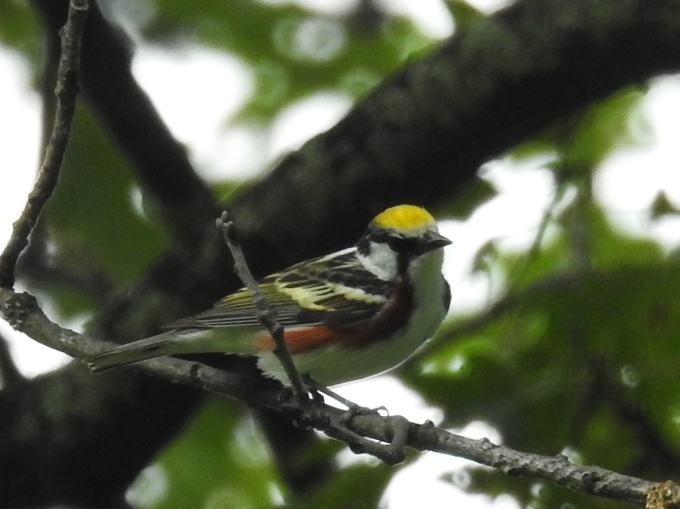 Chestnut-sided Warbler, Blue Ridge Parkway, NC
