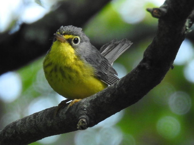 Canada Warbler, Three Top Mountain, Amphibolite Mountains, NC