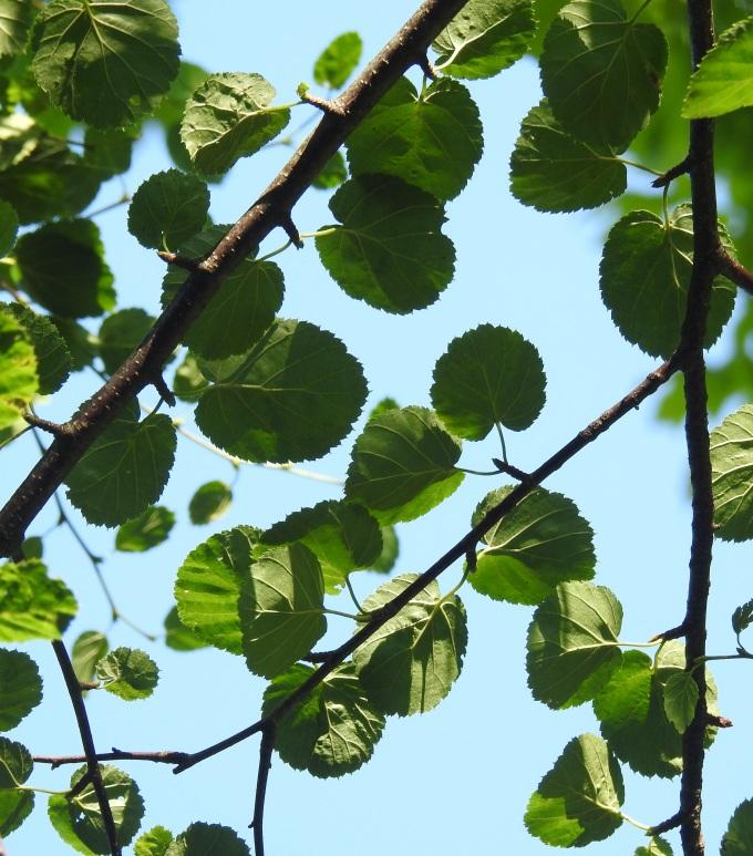 Betula uber, planted individual, near Sugar Grove, VA