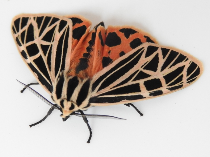 Virgin Tiger Moth, Rochester, NY