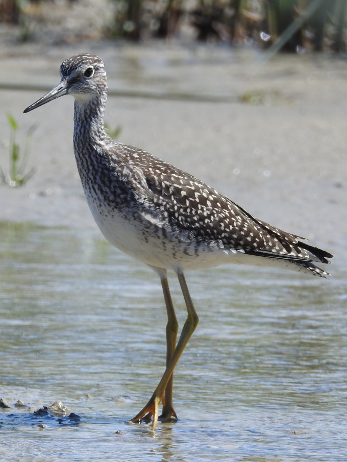 Lesser Yellowlegs, Rupert River, Waskaganish, QUE