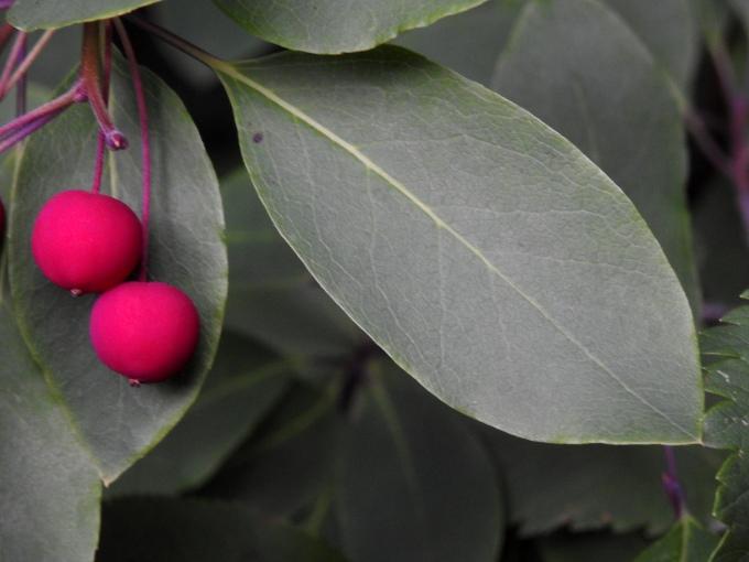 Nemopanthus mucronatus, Ashuapmushuan PP, QUE