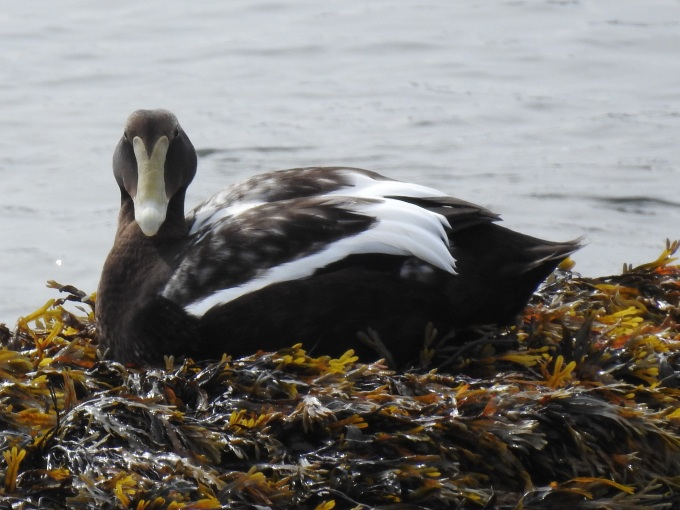 Common Eider, Acadia NP, ME