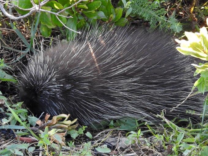 Porcupine, Petit Manan NWR, ME
