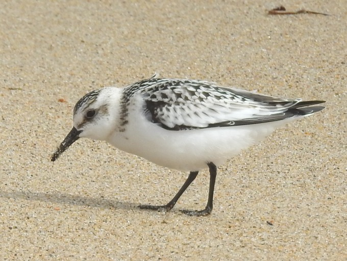Sanderling, Salisbury Beach SP, MA
