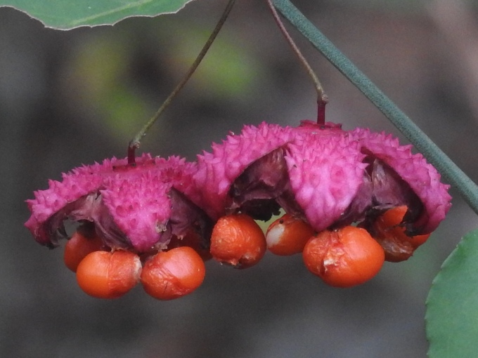 Euonymus americanus, Natchez Trace Parkway, MS