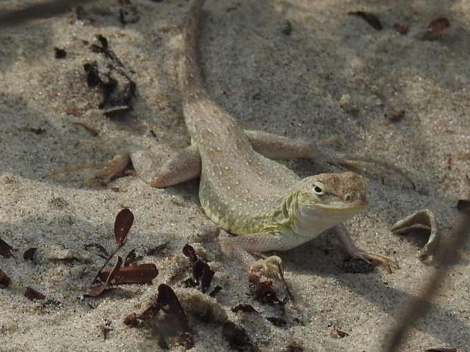 Keeled Earless Lizard, South Padre Island, TX