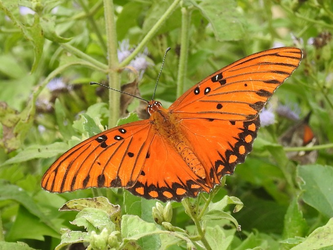 Gulf Fritillary, National Butterfly Center, Mission, TX