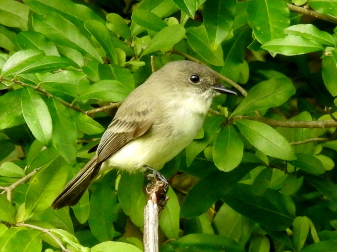 Eastern Phoebe, Higbee Beach, Cape May, NJ